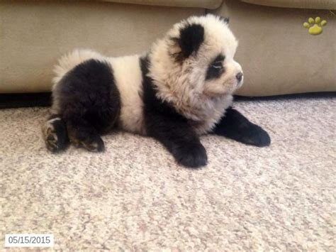 panda looking pomeranian for sale best 25 panda ideas on adorable baby animals baby animals and