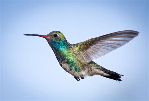 birds of arizona hummingbirds judge jury and exhibitioner