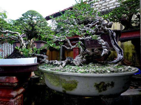 Bakalan Bonsai Santigi pin phempis acidula 171 bonsai santigi bakalan on