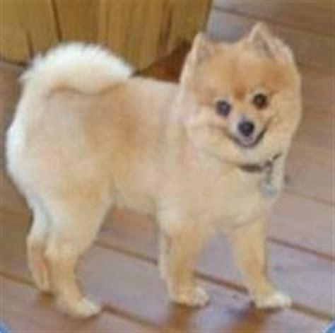hair pomeranian dogs best 25 pomeranian haircut ideas on
