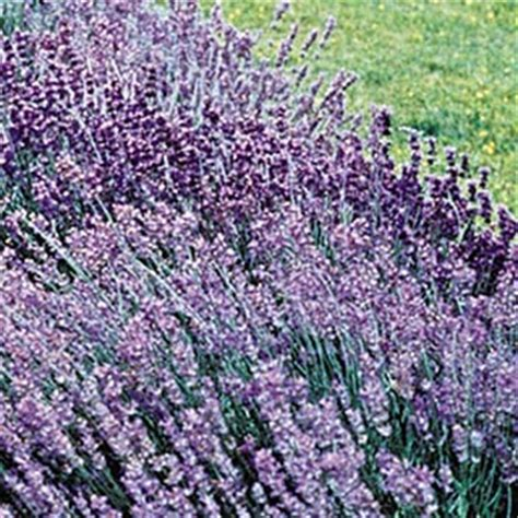 hardy lavender perennials from gurneys seed and nursery