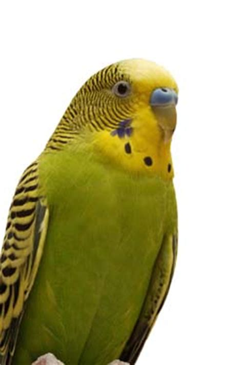 perks of owning a pet parakeet pet birds by lafeber co