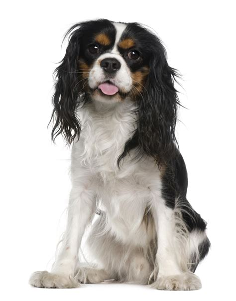 Do Cavalier King Charles Shed by Information About The Affectionate Cavachon Breed