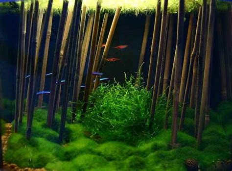 bamboo aquascape 23 best images about aquascaping fishes on pinterest