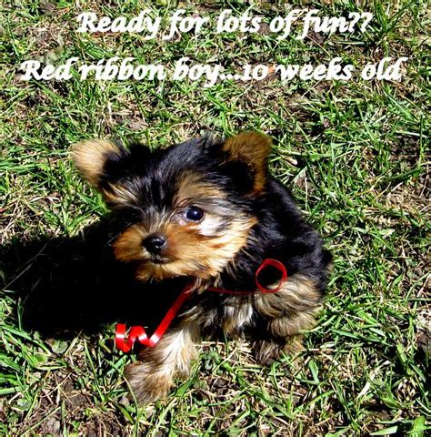 Yorkie Shedding by Ckc Reg Teacup Yorkie Boy Non Shedding Hypo Allergenic Ready Now Outside Ottawa Gatineau