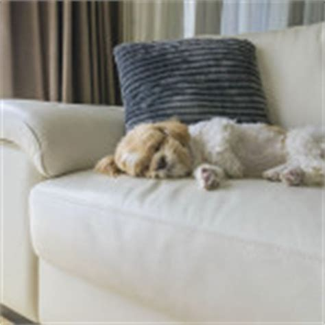dog pee couch leather furniture and dogs how to make it work dog