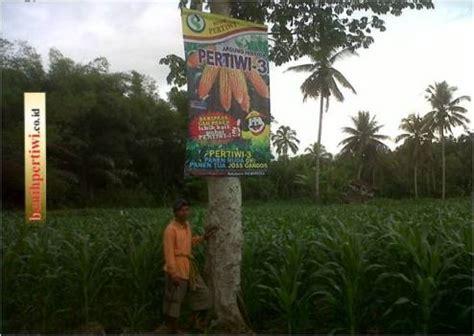 Bibit Jagung Nk 99 jagung pertiwi 3 tongkolnya besar besar benih pertiwi