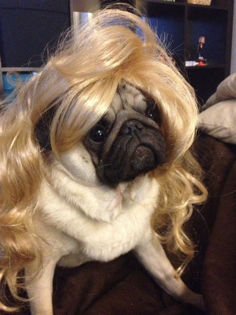 hair pug 10 reasons that pugs are the funniest dogs in the world