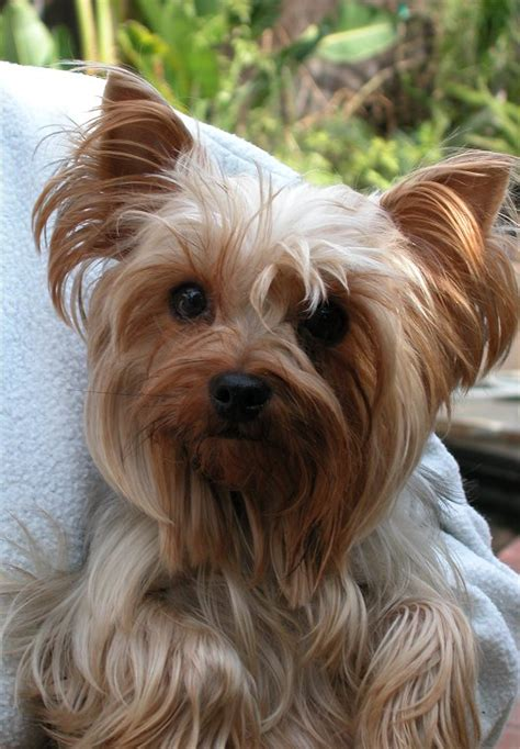 brown yorkie http www shooterdog martha1 jpg