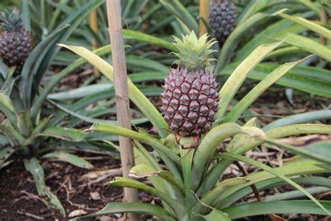 grow  pineapple  home plant care plantopedia