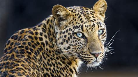 leopard  wallpapers hd wallpapers id