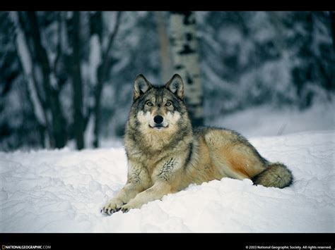wolf s gray wolves