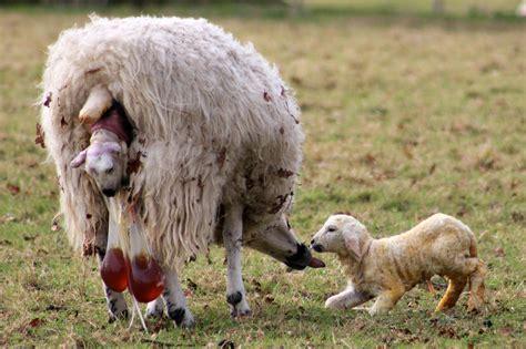 child birth head coming out 4 growing your baby koyunlarda gebelik ve doğum zamanı hayvancılık hakkında