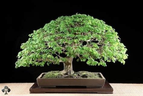 bonsai for beginners bonsai care bob vila s blogs