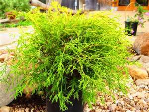 plants and shrubs with names pictures to pin on pinterest pinsdaddy