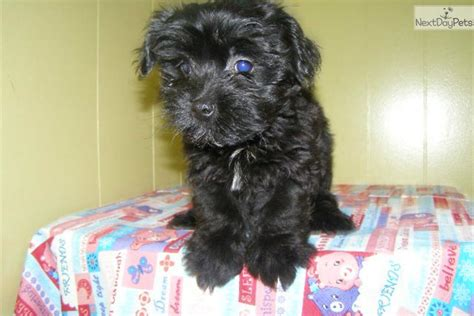 puppies for sale in nj 200 havanese puppy for sale near jersey new jersey 8a3da30c aa11
