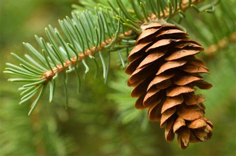 pine cone trees just like pine cones his girls are larger in the middle