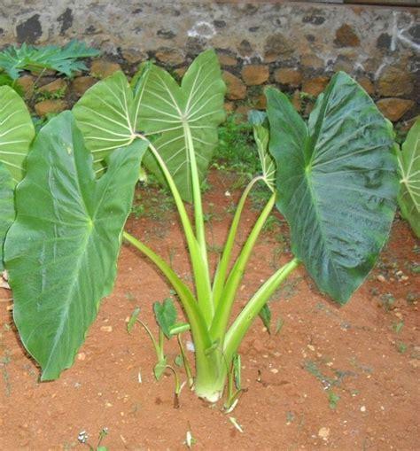 Talas Bogor Ukuran Sedang mengenal tanaman talas