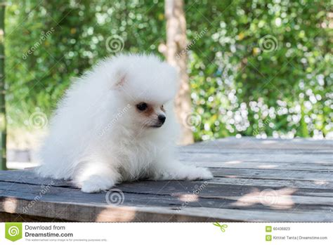 small white pomeranian puppies small white pomeranian stock photo image 60436823