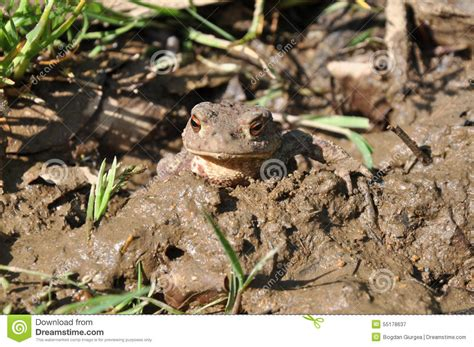 Toad In The Mud by Toad In Mud Stock Image Image Of Camouflaging