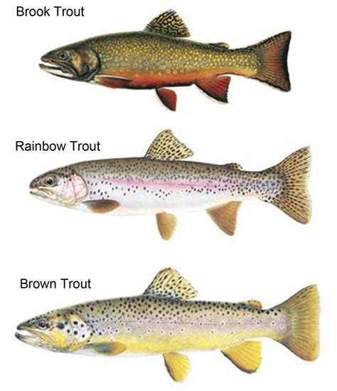 Colorado Home Decor by Types Of Trout Lake Fishing Decor Ideas Pinterest