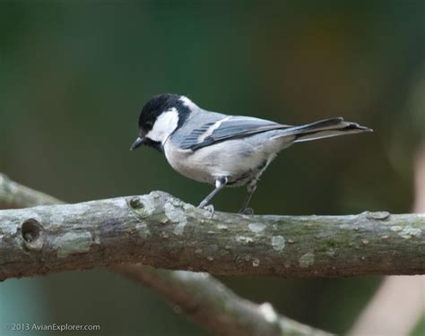 avian explorer 187 blog archive 187 southern great tit