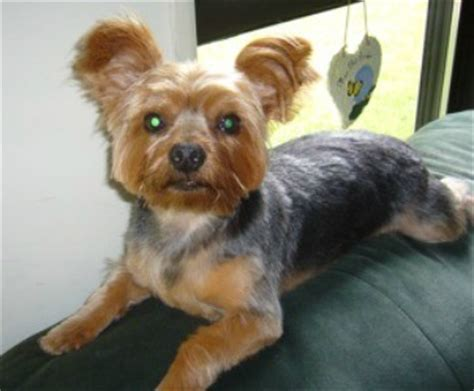 house a yorkie puppy terrier breed information and photos thriftyfun