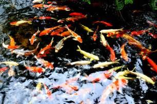 Jual Bibit Ikan Koi 2017 tempan jual ikan koi jepang asli meja jati