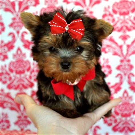 yorkie puppies for sale melbourne teacup yorkie puppies for sale