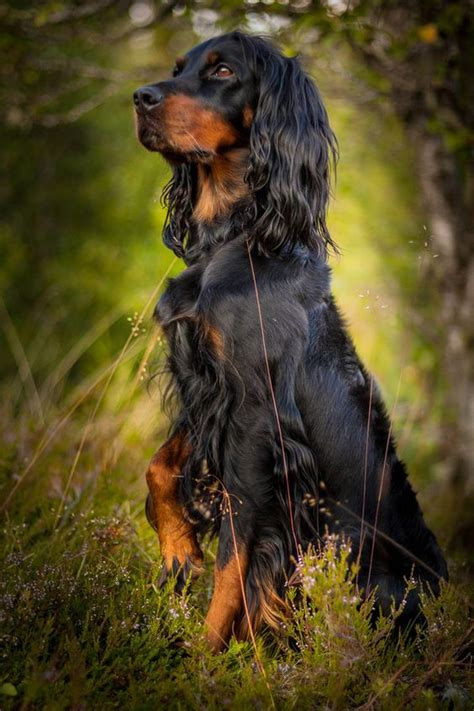 setter dog gordon gordon setter dogs and beautiful dogs on pinterest