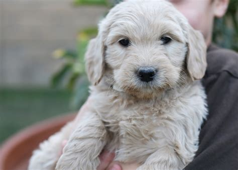 goldendoodle puppy traits goldendoodle puppies rescue pictures information