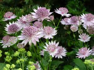 Patio Flowers - how to grow astrantia care and growing astrantias