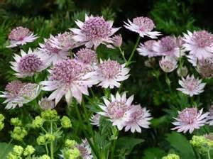How to Grow Astrantia   Care and Growing Astrantias   Balcony Garden Web