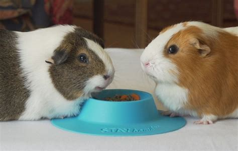 bedding for guinea pigs 1000 ideas about guinea pig bedding on pinterest guinea