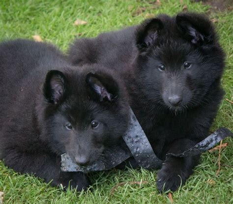 belgian shepherd puppies belgian shepherd puppies groenendael chorley lancashire pets4homes