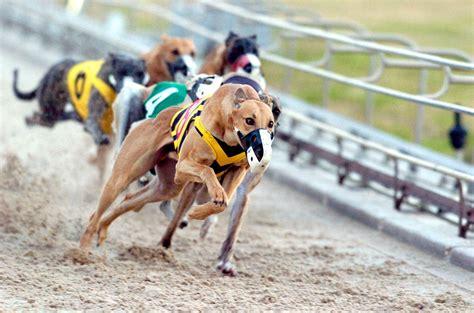 greyhound racing greyhounds racing vue greyhound stadium manchester