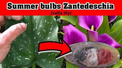 summer bulbs zantedeschia calla lily planting india how to used fertilizer ग र ष मक ल न बल ब