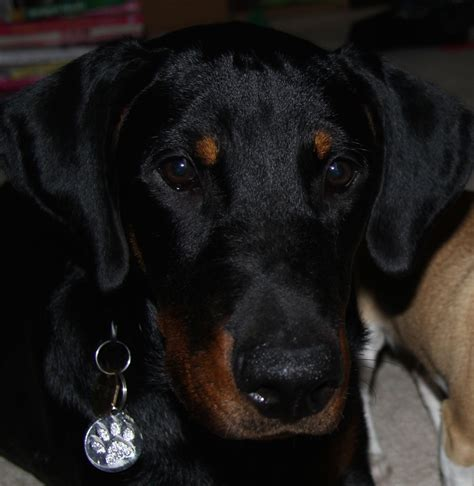 rottweiler puppies for sale south wales pin doberman x rottweiler puppies for sale uk and dogs on