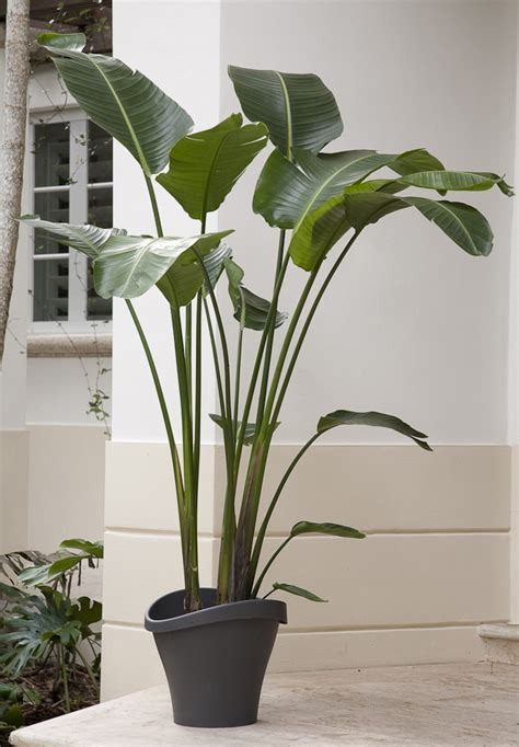 large house plants while not a palm this showy plant has large bright green