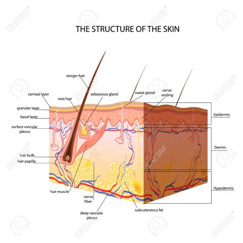 skin structure stock photos royalty free skin structure images depositphotos 174 skin layer anatomy human anatomy diagram