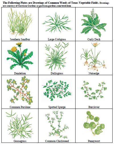 Flowers Lubbock Texas - chapter viii weed management vegetable resources
