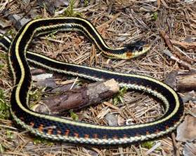 garter snake garter snake pictures posters news and on your