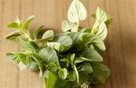 grow  care  oregano plants
