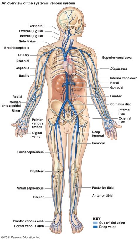 arteries and veins diagram the cardiovascular system blood vessels
