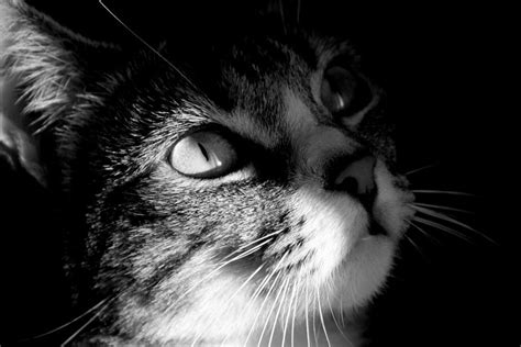 wallpaper cats black and white cat hd black and white wallpaper