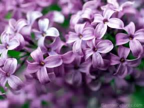 lilac lilacs lovely little things