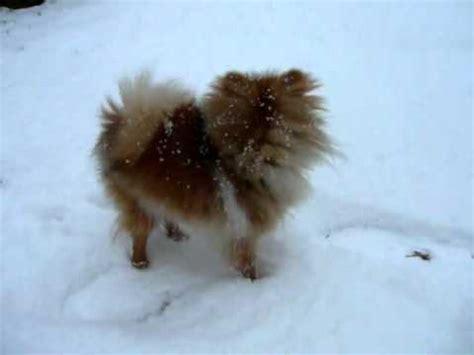 mini spitz vs pomeranian spitz beautiful and clever pomeranian volpino di pomerania funnydog tv