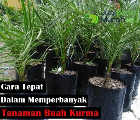 Bibit Kurma Berkecambah ini dia cara tepat yang digunakan dalam memperbanyak tanaman kurma jualbenihmurah