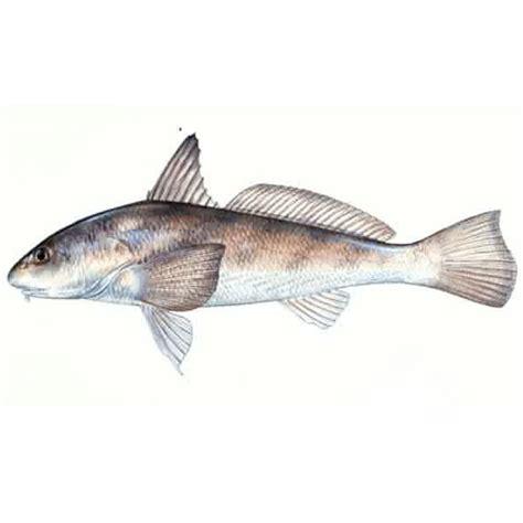 seasonal fishing guide for beaufort and hilton head south carolina beaufort sport fishing