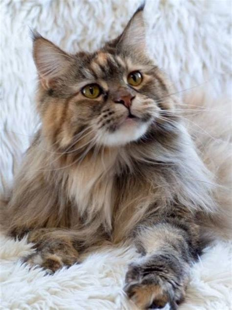 maine coon kittens bay area 1724 best maine coon cats images on maine coon cats forest cat and cats